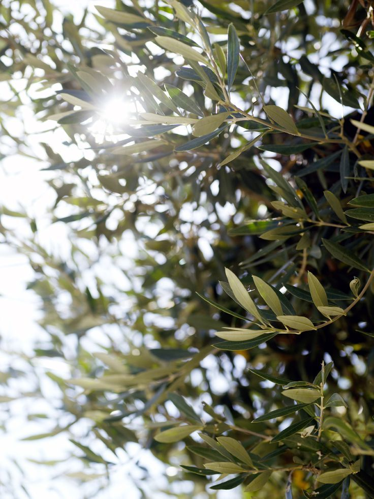 Outdoor picture Olive tree, Outdoor pictures, Pictures