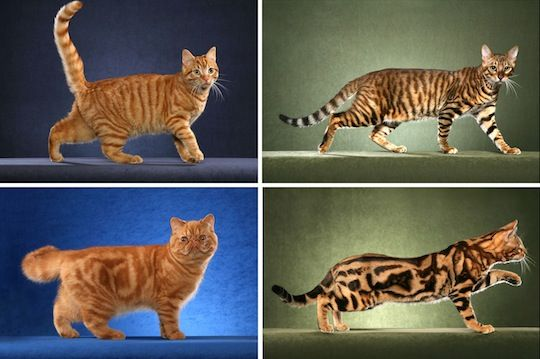 Same Gene Guides Cheetah And Tabby Cat Coat Patterns Tabby Cat Tabby Cats