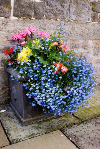 Regatta Sky Blue Lobelia With Begonias Gardens Planters Garden