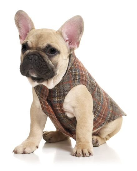 French Bulldog Puppy Modeling The Tweed Plaid Dog Coat From Jigsaw
