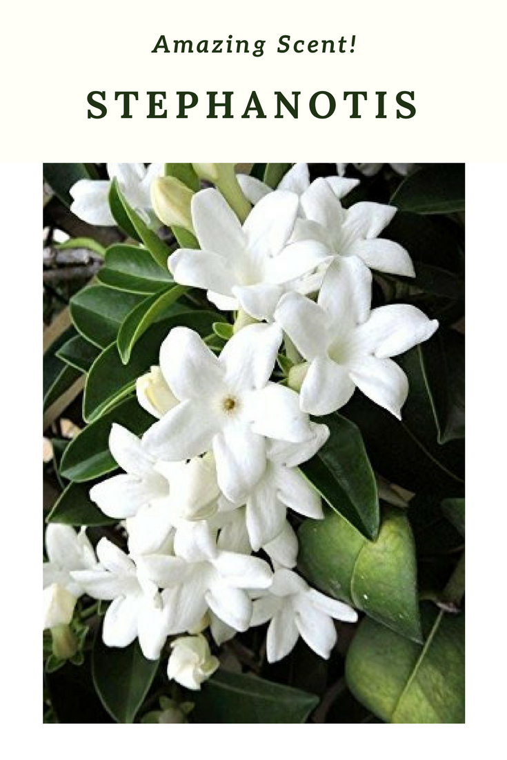 Also Is Also Called The Hawaiian Wedding Flower Since Brides In