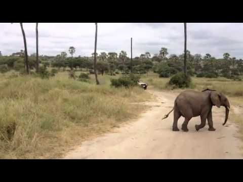 Baby elephant scampers to keep up with family...