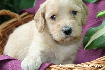 Apricot Red Goldendoodle Puppies For Sale In Wisconsin F1