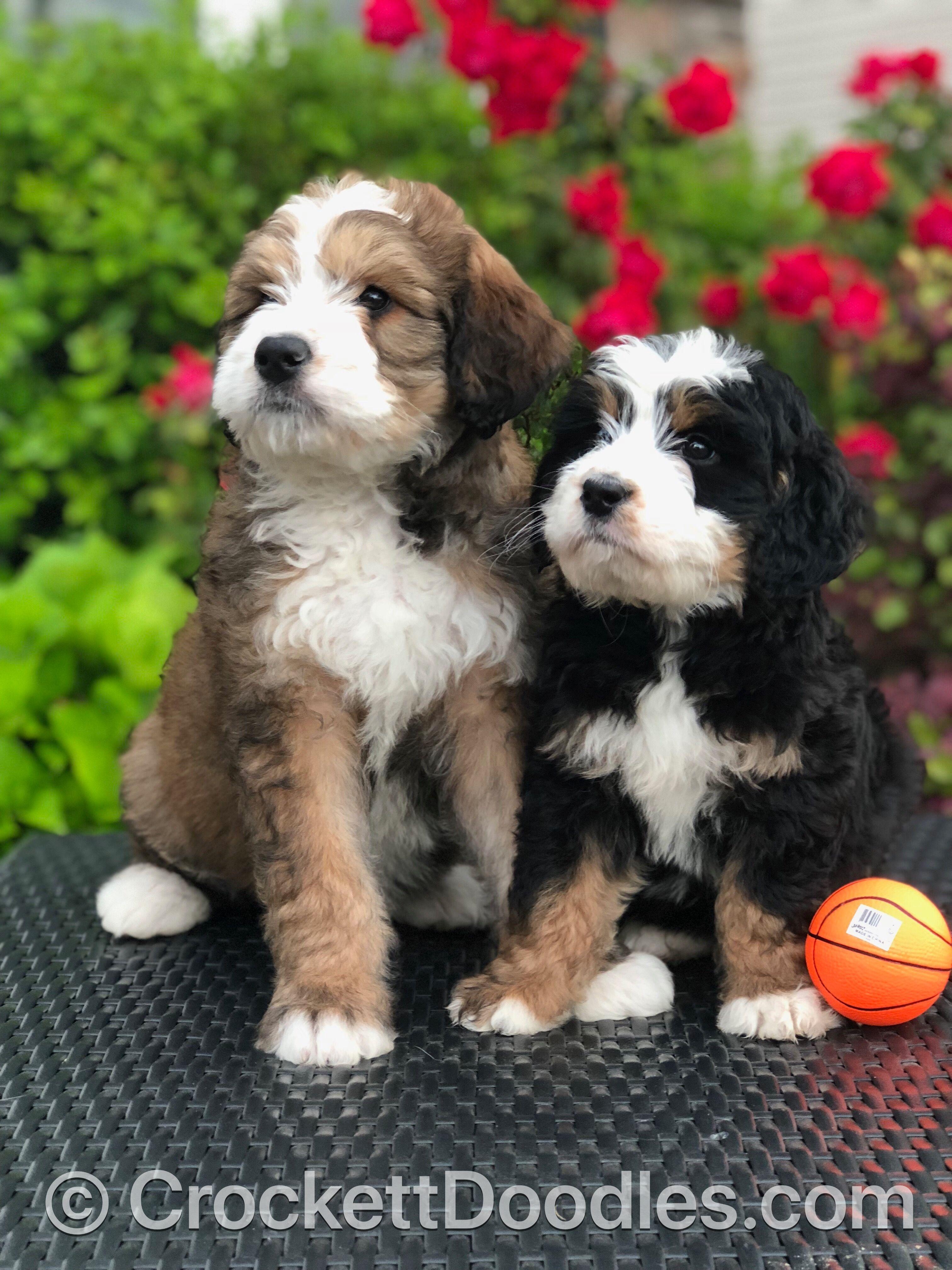 Bernedoodles From Crockett Doodles Bernedoodle Puppy Puppies Cute Animals
