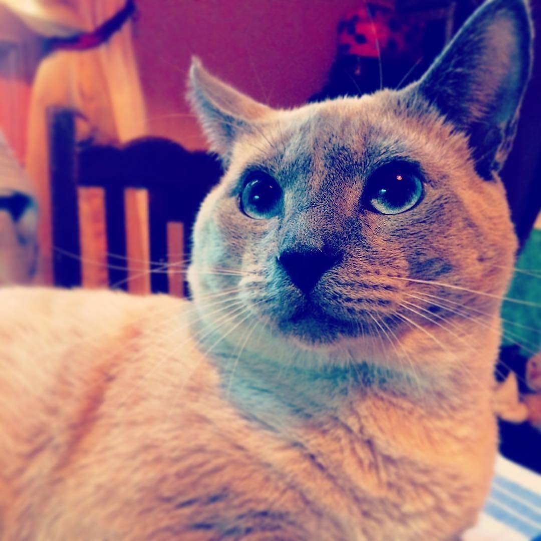 Lilo un falso siamés. #catsofinstagram #instacat #kitties #cute #siames #fake #cat #meow by carolastriv