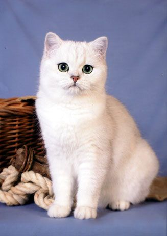 Silver Shaded British Shorthair.... want one! Cuteness