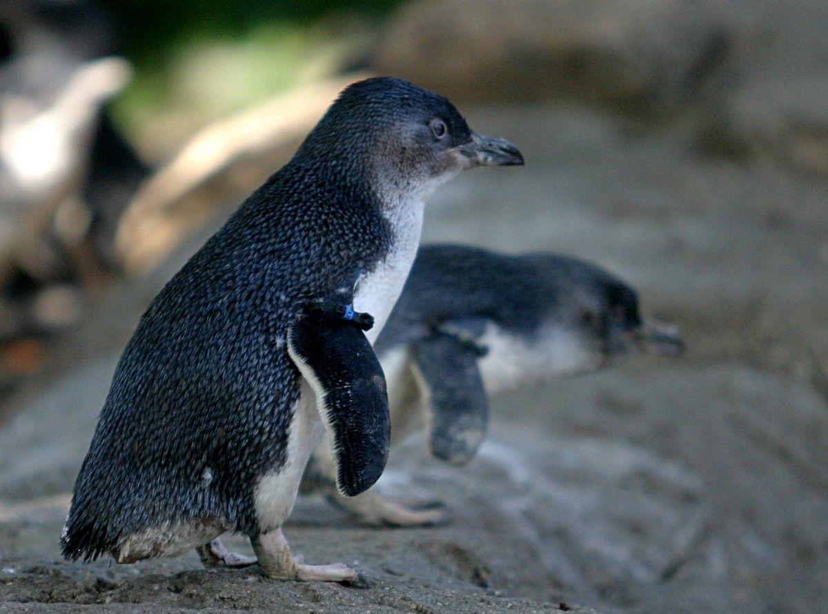 Pingüino azul (Eudyptula minor) Aunque no están en peligro de ...