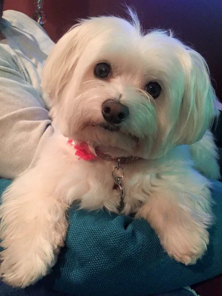 Pin By Lori Mcclintock On Puppy Love Teacup Puppies Maltese