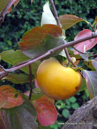le fruit du kaki le plaqueminier est son arbre fruitier. Black Bedroom Furniture Sets. Home Design Ideas