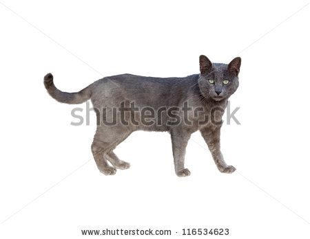 Side view of Chartreux cat standing isolated on white by FCG, via ShutterStock