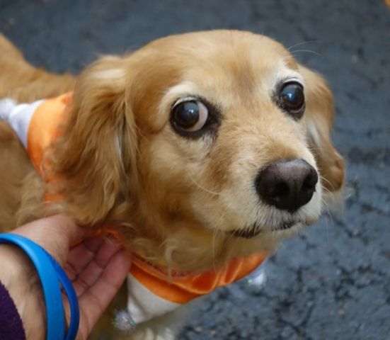 SUPER URGENT Manhattan Center LILY – A1056033  ***SAFER : AVERAGE HOME***  SPAYED FEMALE, TAN / WHITE, CHIHUAHUA LH / PEKINGESE, 10 yrs OWNER SUR – EVALUATE, NO HOLD Reason NO TIME Intake condition EXAM REQ Intake Date 10/26/2015