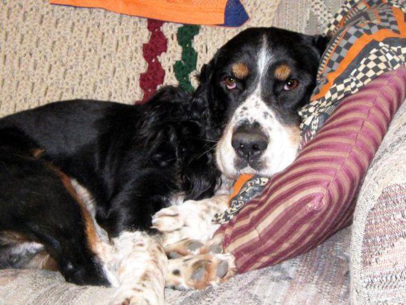 Dog of the Day: Stewart, English Springer Spaniel