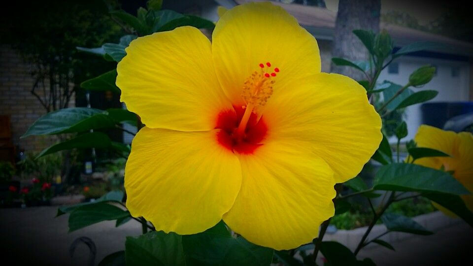 Brilliant Hibiscus Flower Growing In Texas Yellow Red Closeup