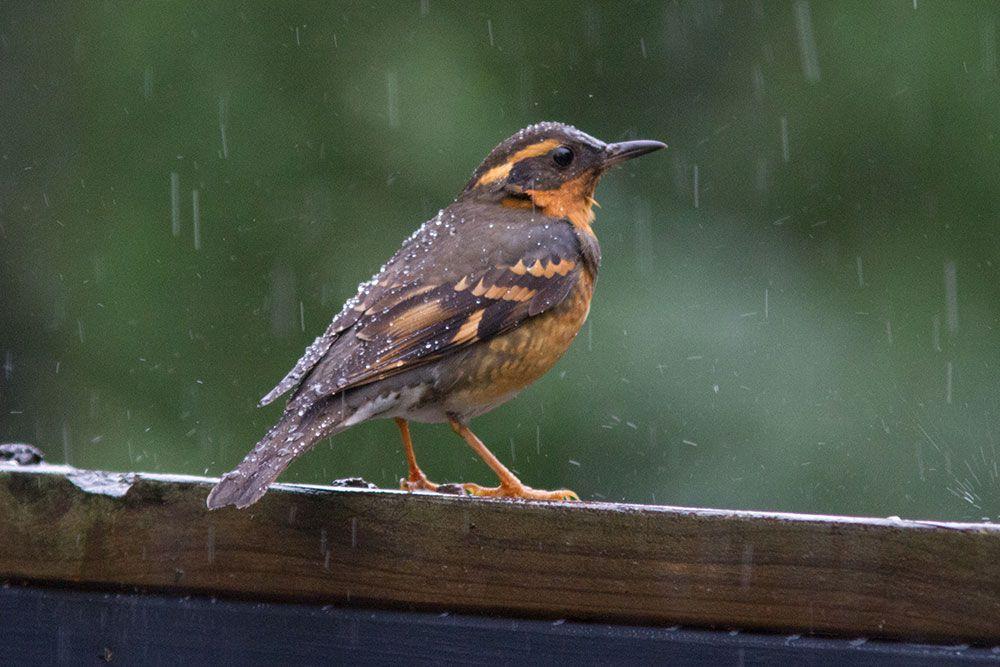 Bird in the Rain: Pacific Northwest | Birds, Backyard ...