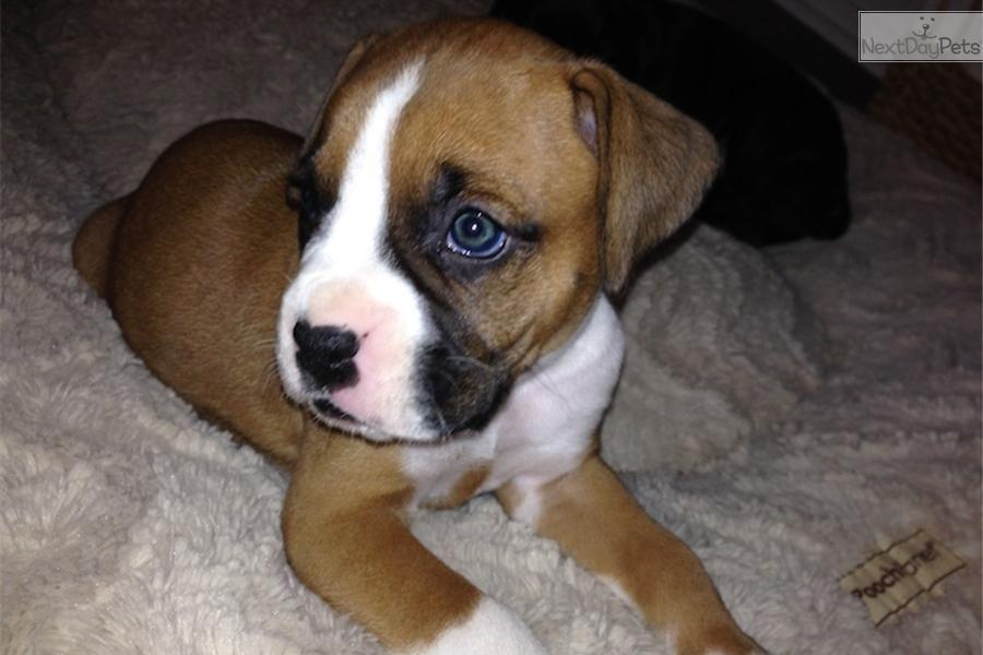 Pitbull Puppies For Sale Phoenix Az Ideas