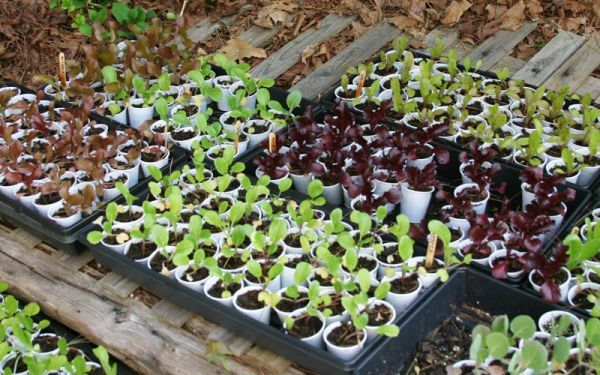 Grow Lettuce From Seed Growing Lettuce Growing Vegetables