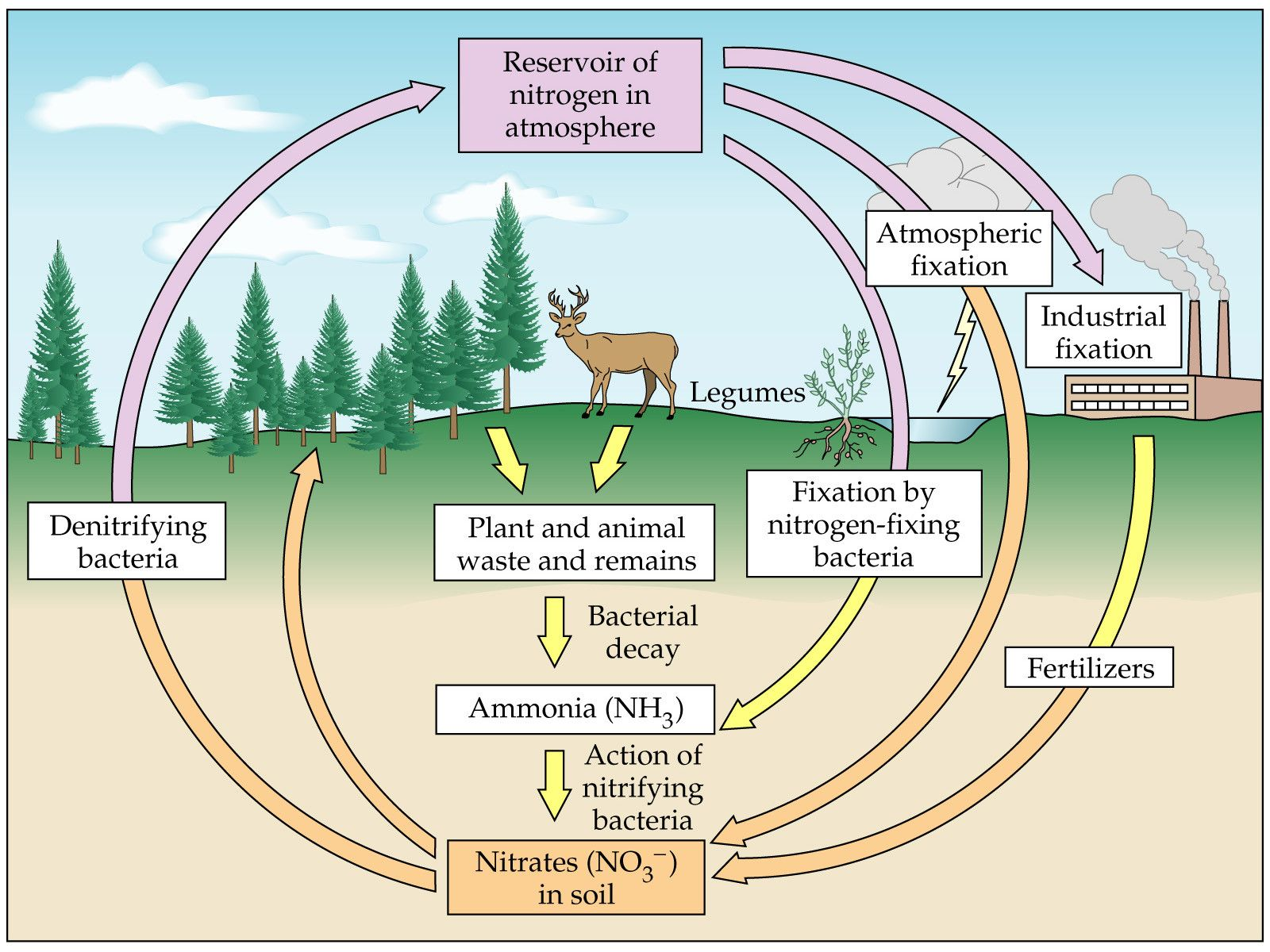 Nitrogen Cycle Diagram To Label Best Of Media Portfolio In 2020 Nitrogen Cycle Simple Water Cycle Nitrogen
