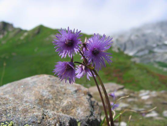 Soldanella Alpina Wild Flowers Alpine Flowers Cross Country Skiing