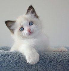 Toledo Oh Supurr Ragdoll Breeder Kittens Mi Indiana