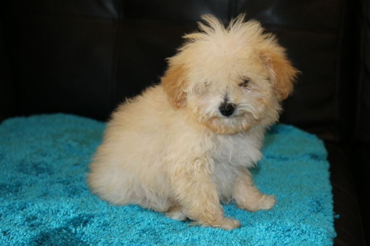 Puppies For Sale Tiny Toy Goldendoodle Micro Mini Goldendoodle Mini Goldendoodle Medium Gol Goldendoodle Puppy Mini Goldendoodle Puppies Puppies For Sale