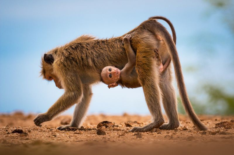Picture of a toque macaque and its mother in Sri Lanka
