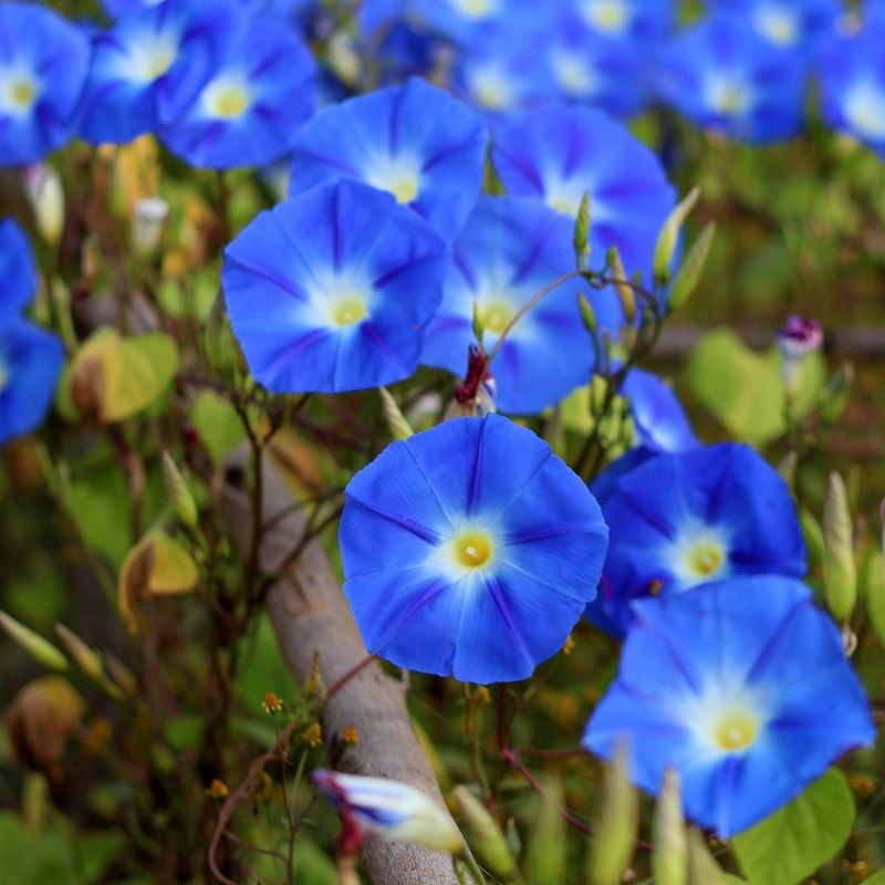 Morning Glory Seeds Heavenly Bluethe Most Common And Most Popular Of All Morning Glories And For Good In 2020 Morning Glory Flowers Morning Glory Seeds Flower Seeds