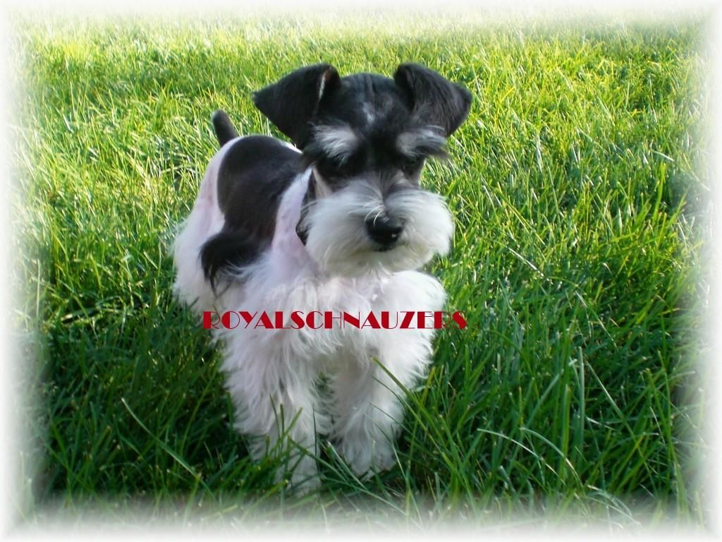 Google Image Result For Http Www Royal Schnauzers Com Upcominglitters 136 2333948259 Jpg Schnauzer Puppy Cutest Puppy Ever Miniature Schnauzer Puppies