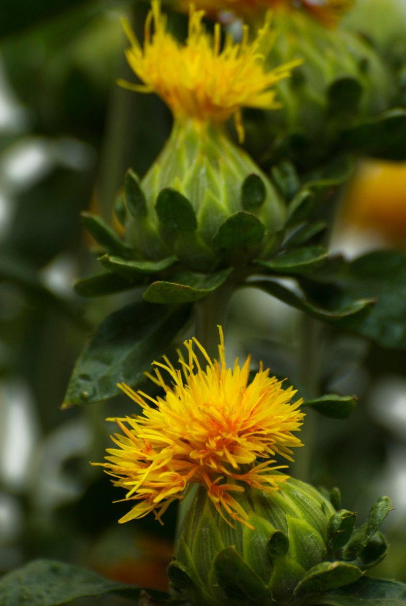 Bud of safflower safflower planting flowers flowers