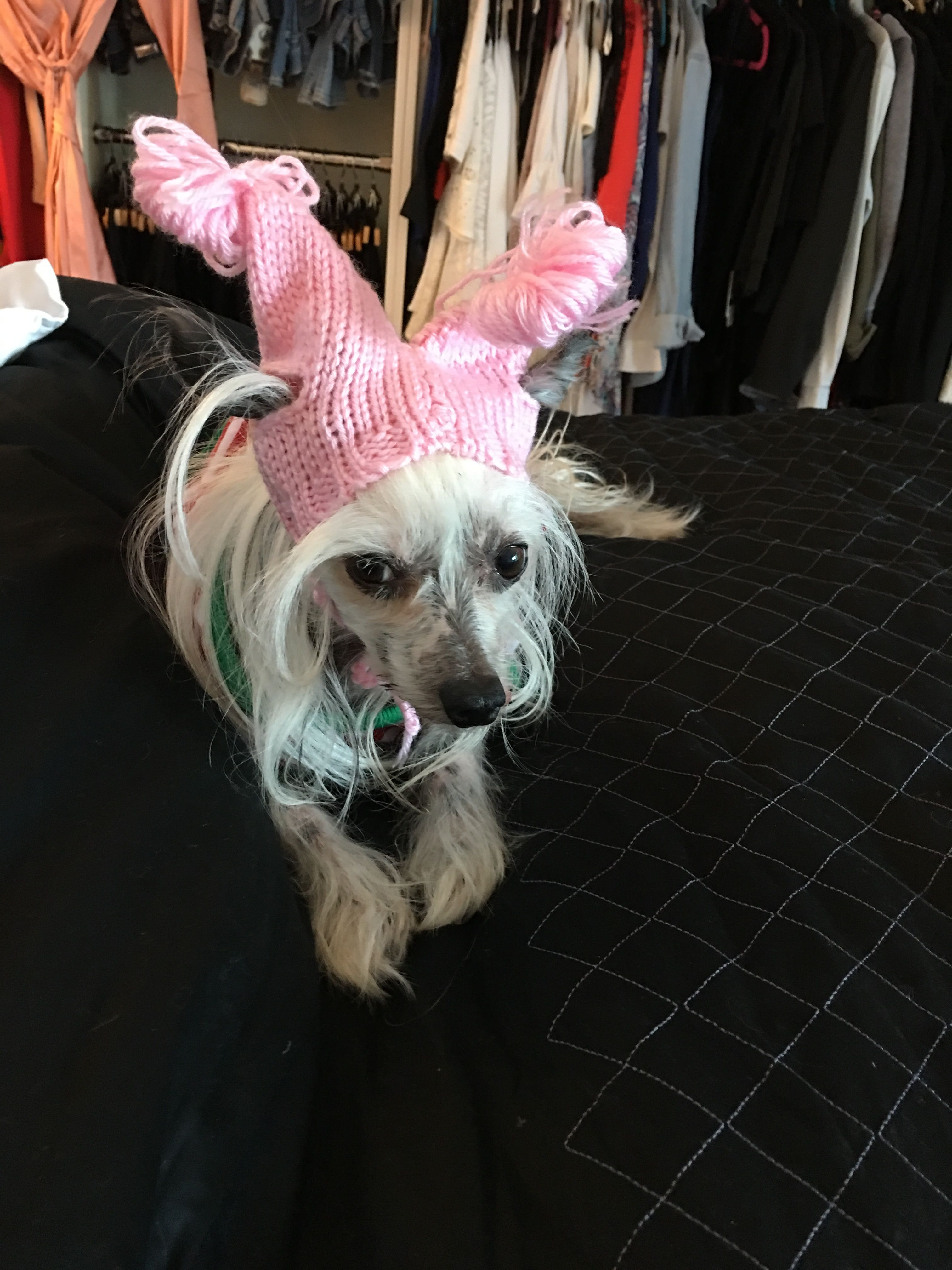 Pin by jackie on chinese cresteds Chinese crested dog