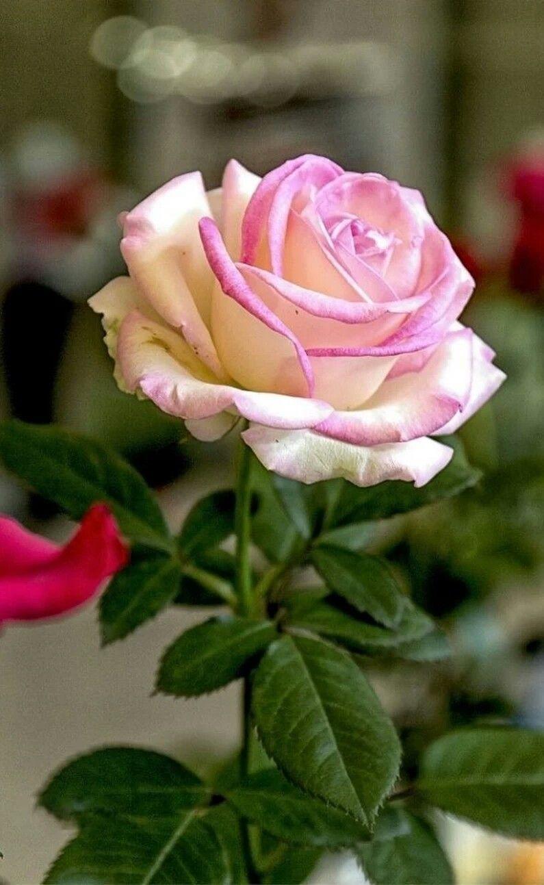 Pin by sylva novotná on růže pinterest