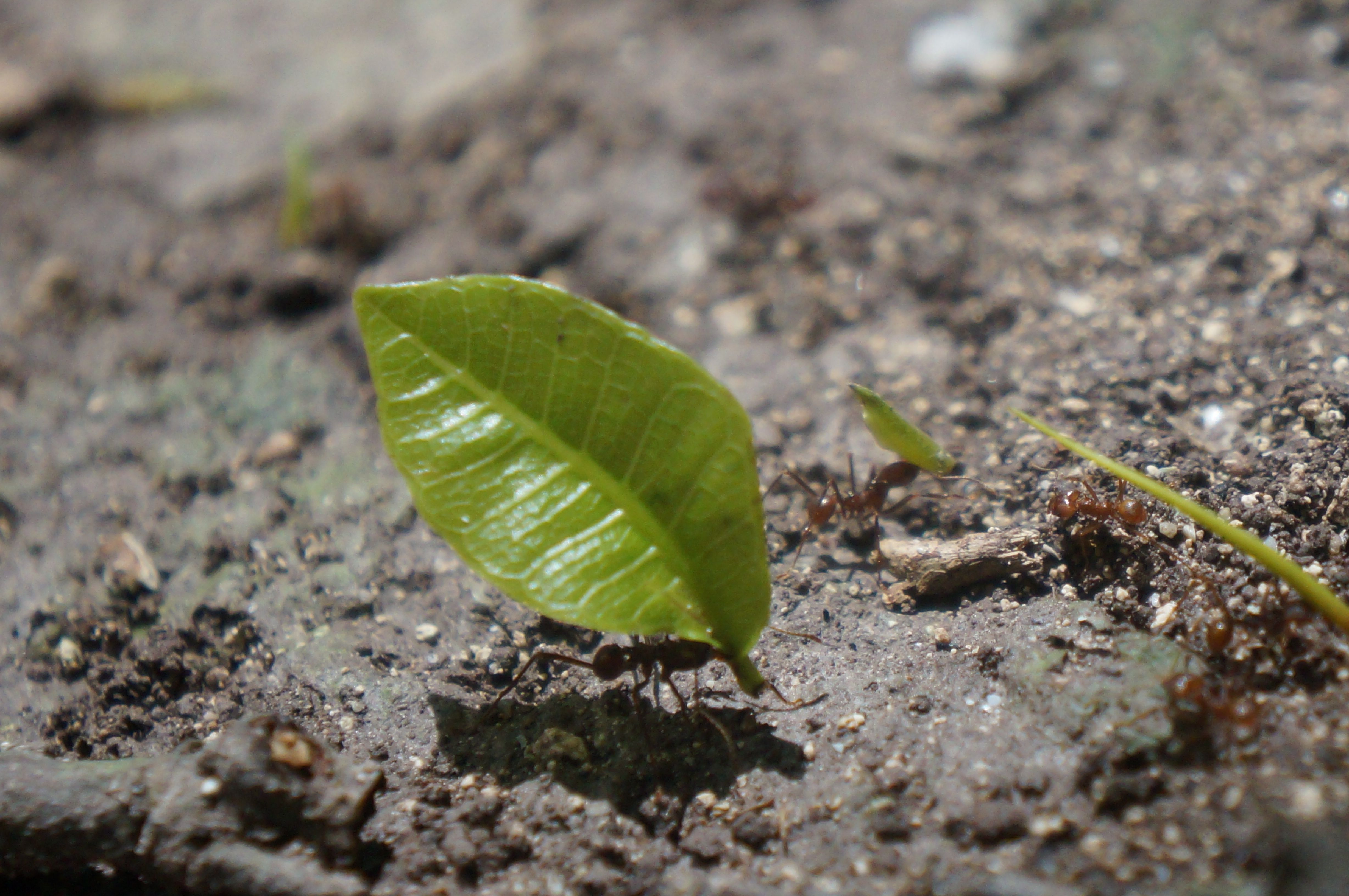 Some Leafcutter ants in the Proyecto El Zotz, Guatemala