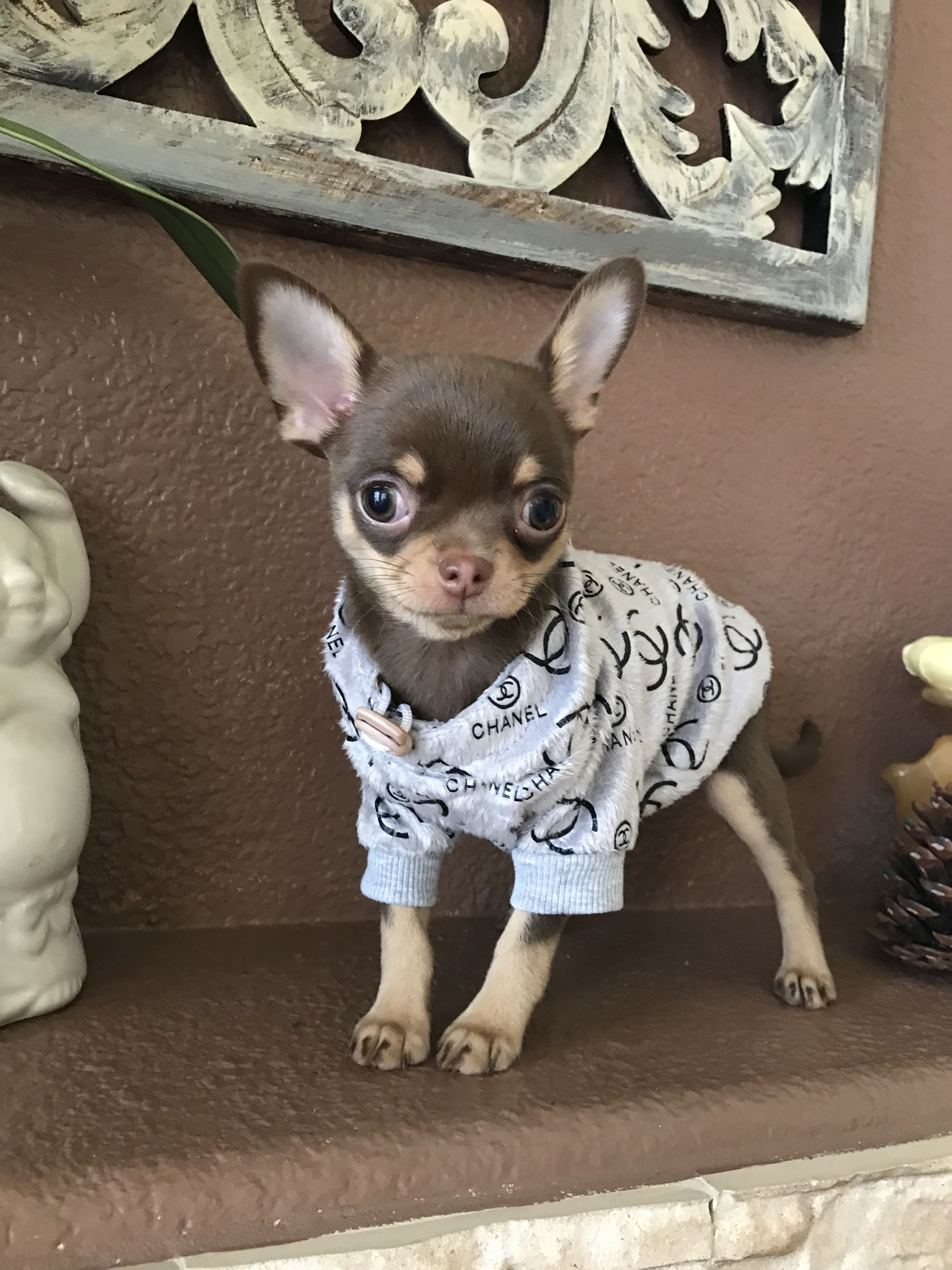 Pin By Las Vegas Tiny Chihuahua On Chocolate Chihuahuas Puppies