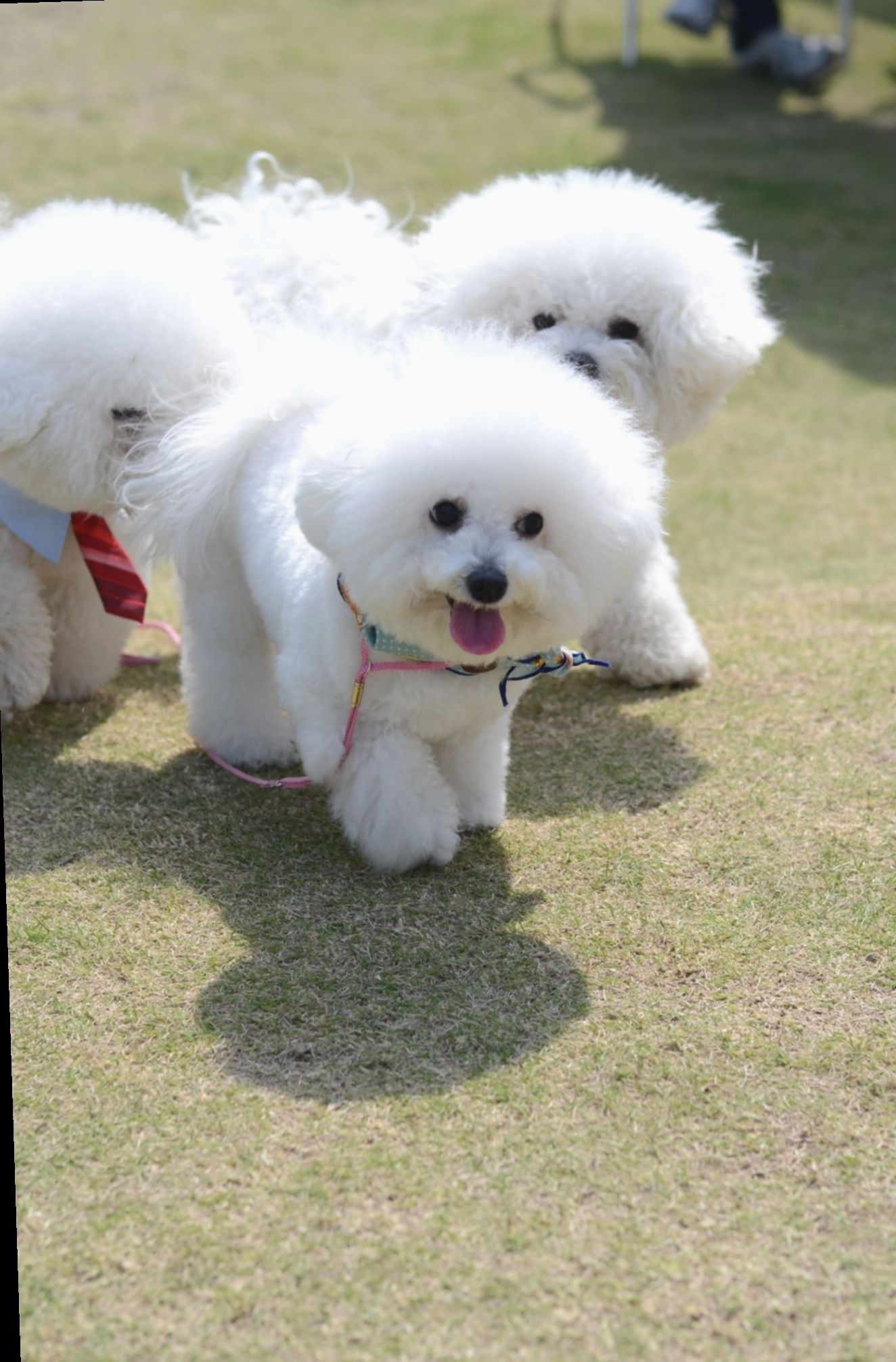 Pin By Mskar Ma On Bichon Beauties With Images Bichon Dog