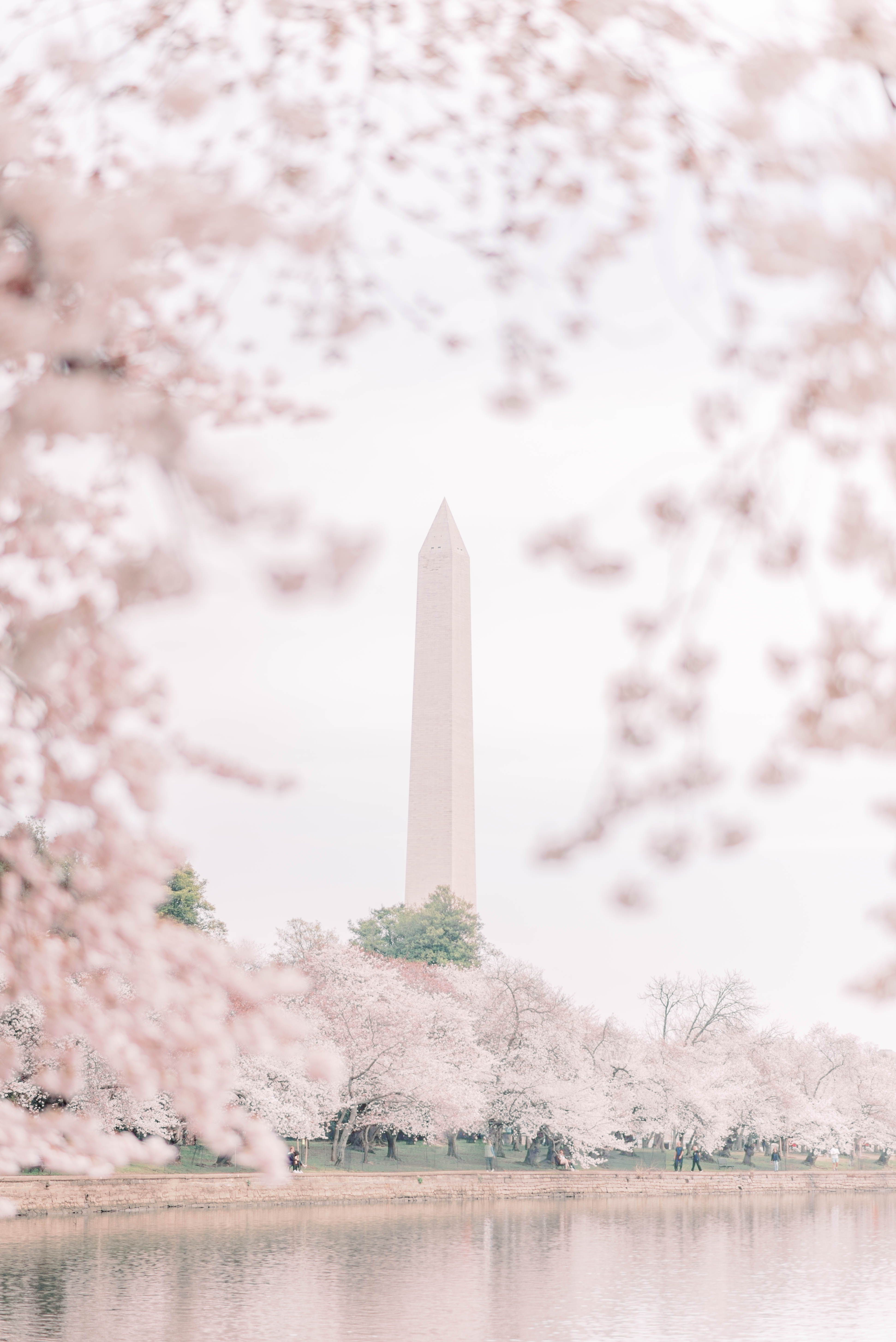 Cherry Blossoms At Dc Tidal Basin Cherry Blossom Blossom Tidal