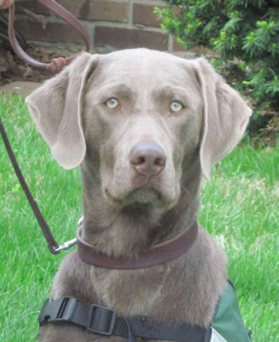 Silver Lab Silver Lab Adult By With Images Silver Labrador Retriever Silver Labrador Lab Puppies