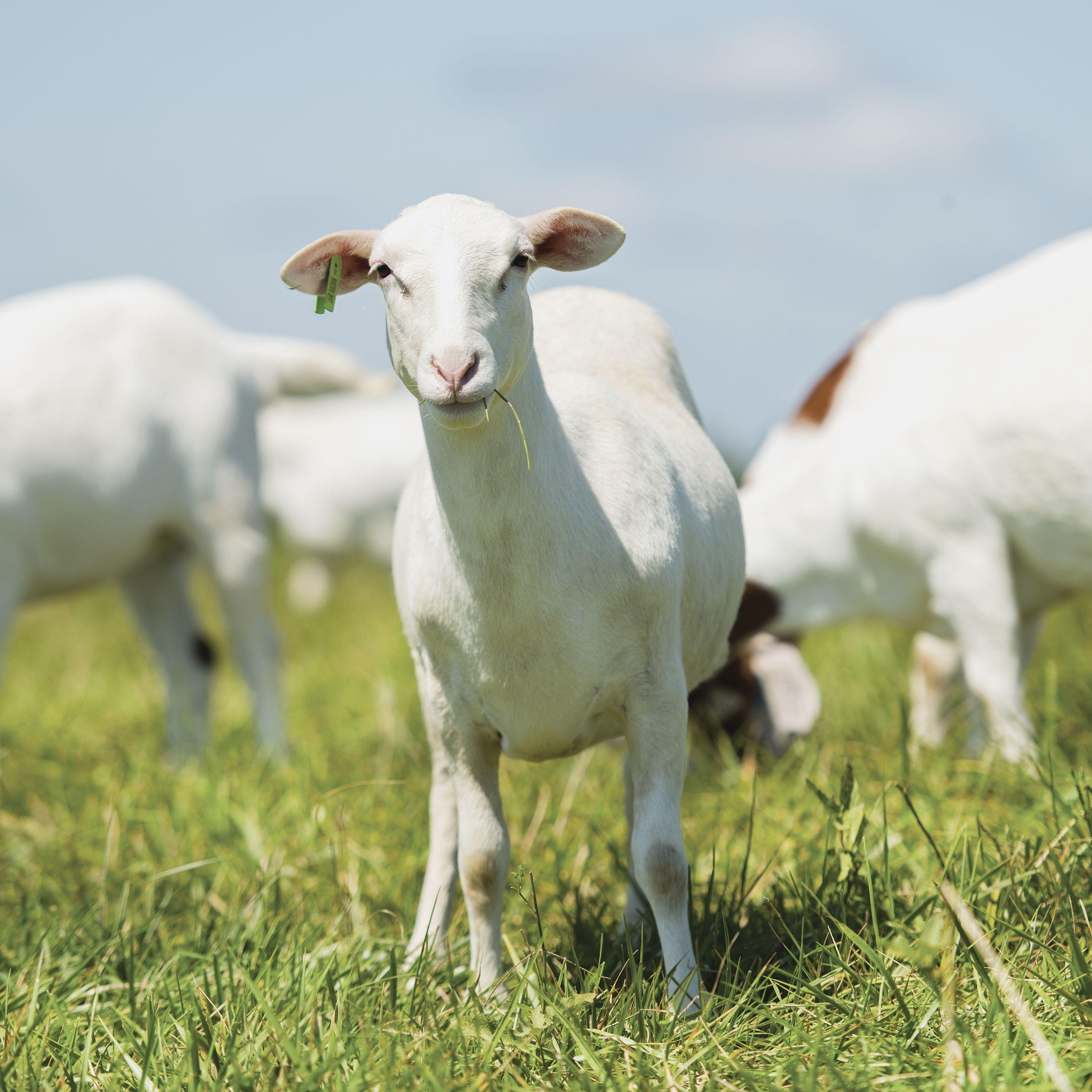 Q Flex 1 5 Ear Tags Sheep Ears Sheep Breeds Ear Tag