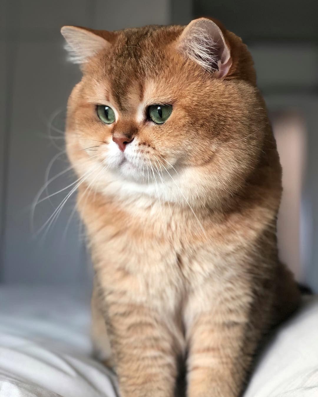 Русская голубая кошка фотографии планируете