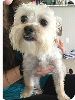 Indianapolis In Yorkie Yorkshire Terrier Shih Tzu Mix Meet Wiley A Dog For Adoption Http Www A Dog Adoption Yorkshire Terrier Yorkie Yorkshire Terrier