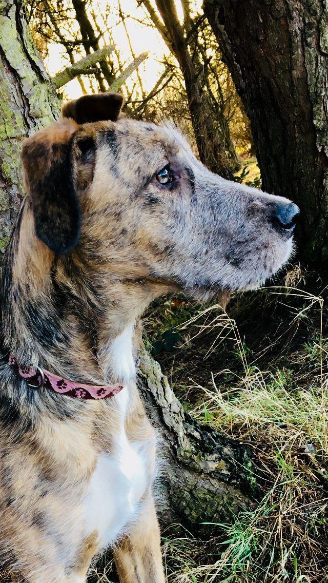 4 month old Irish Dane Irish wolfhound, Wolfhound, Dane