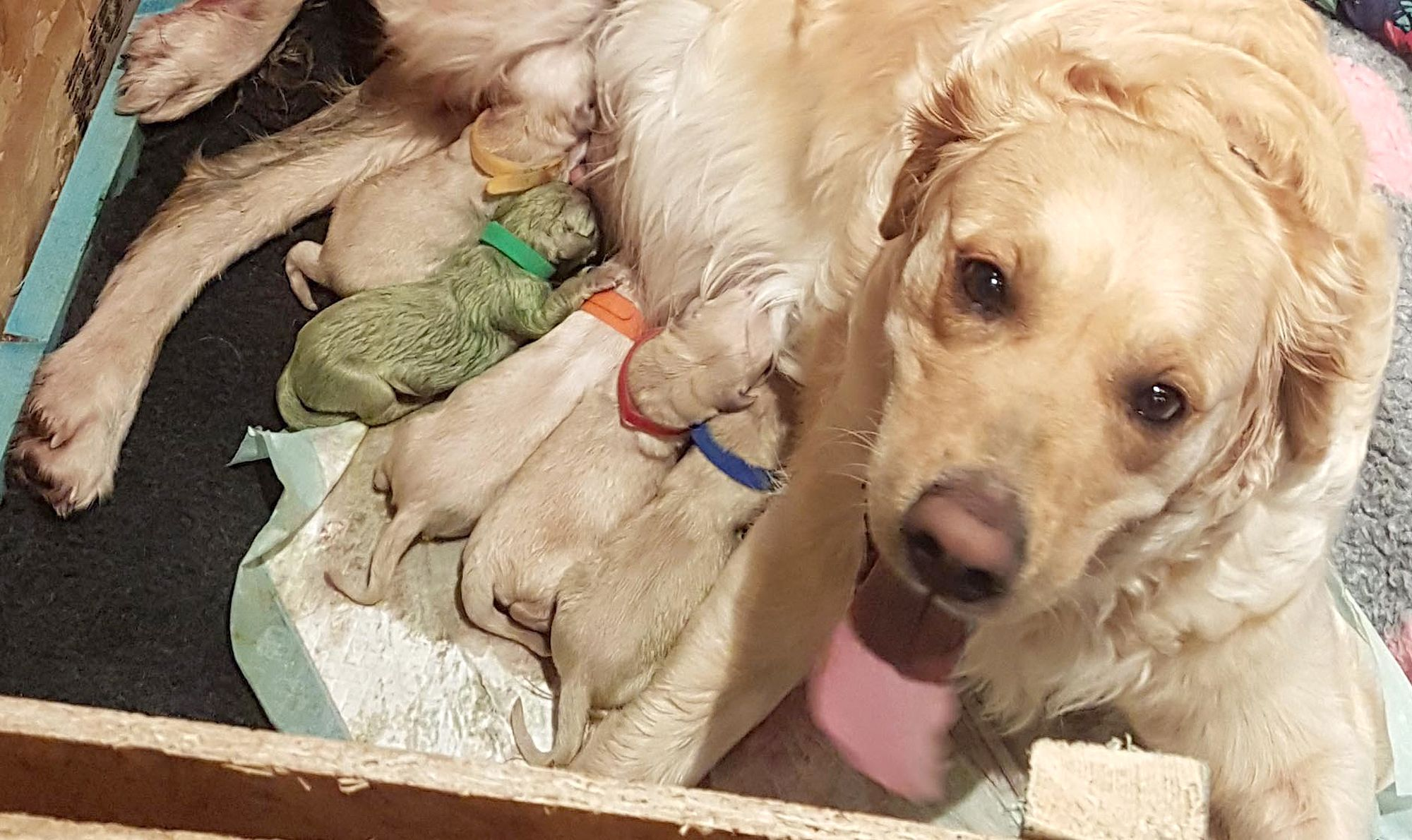 A Golden Retriever In Scotland Gave Birth To A Green Puppy With Images Retriever Puppy Golden Retriever Mom Golden Retriever