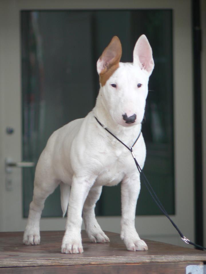 #bullterrier #dogs #puppy