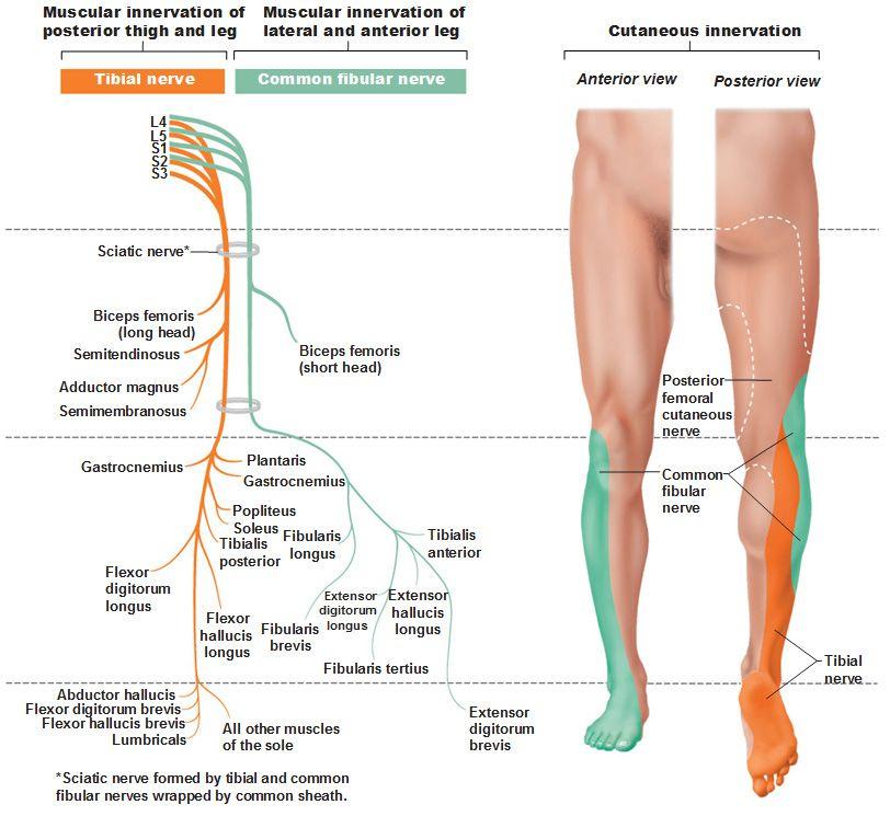 sacral plexus tibial nerve common fibular nerve | school, Muscles