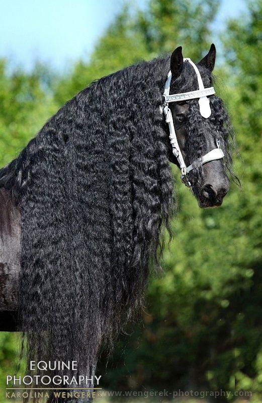 stallion Timo