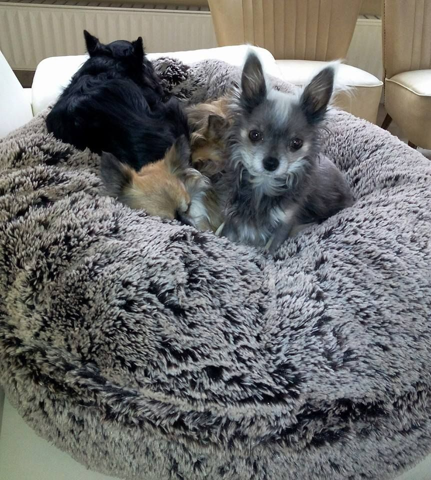 Bagel Bed Colour Frosted Willow Www Bessieandbarnie Eu Chihuahua Dogs Pets