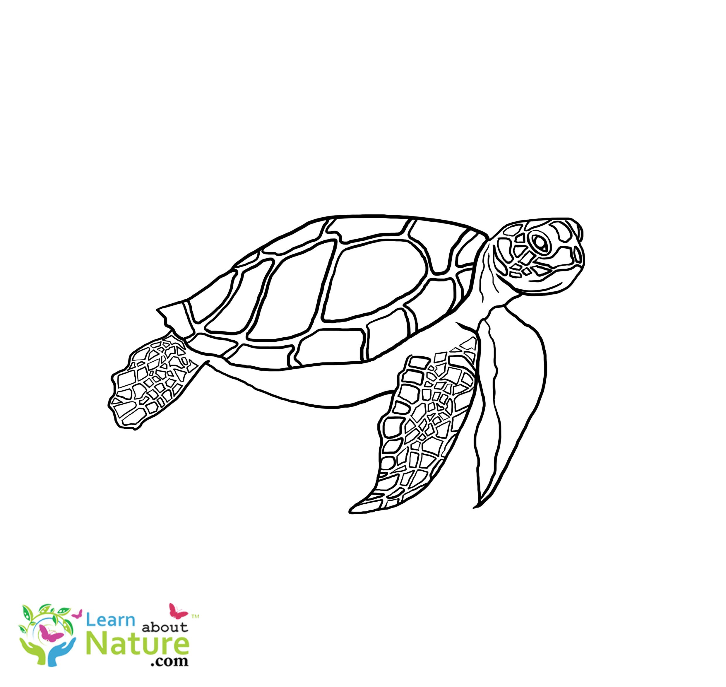 Sea Turtle Coloring Page Inspirational Coloring Ideas Sea Turtle Coloring Page Learn About Na Turtle Coloring Pages Coloring Pages Coloring Pages Inspirational