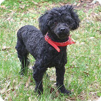 Mocksville Nc Poodle Miniature Mix Meet Mabel A Dog For