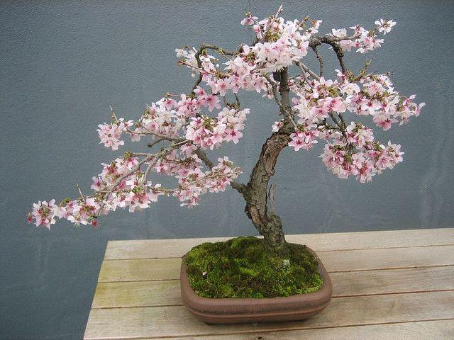 Softness Cherry Blossom Bonsai Tree Japanese Bonsai Tree Bonsai Tree