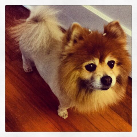 Happiness is an inherited Pomeranian!