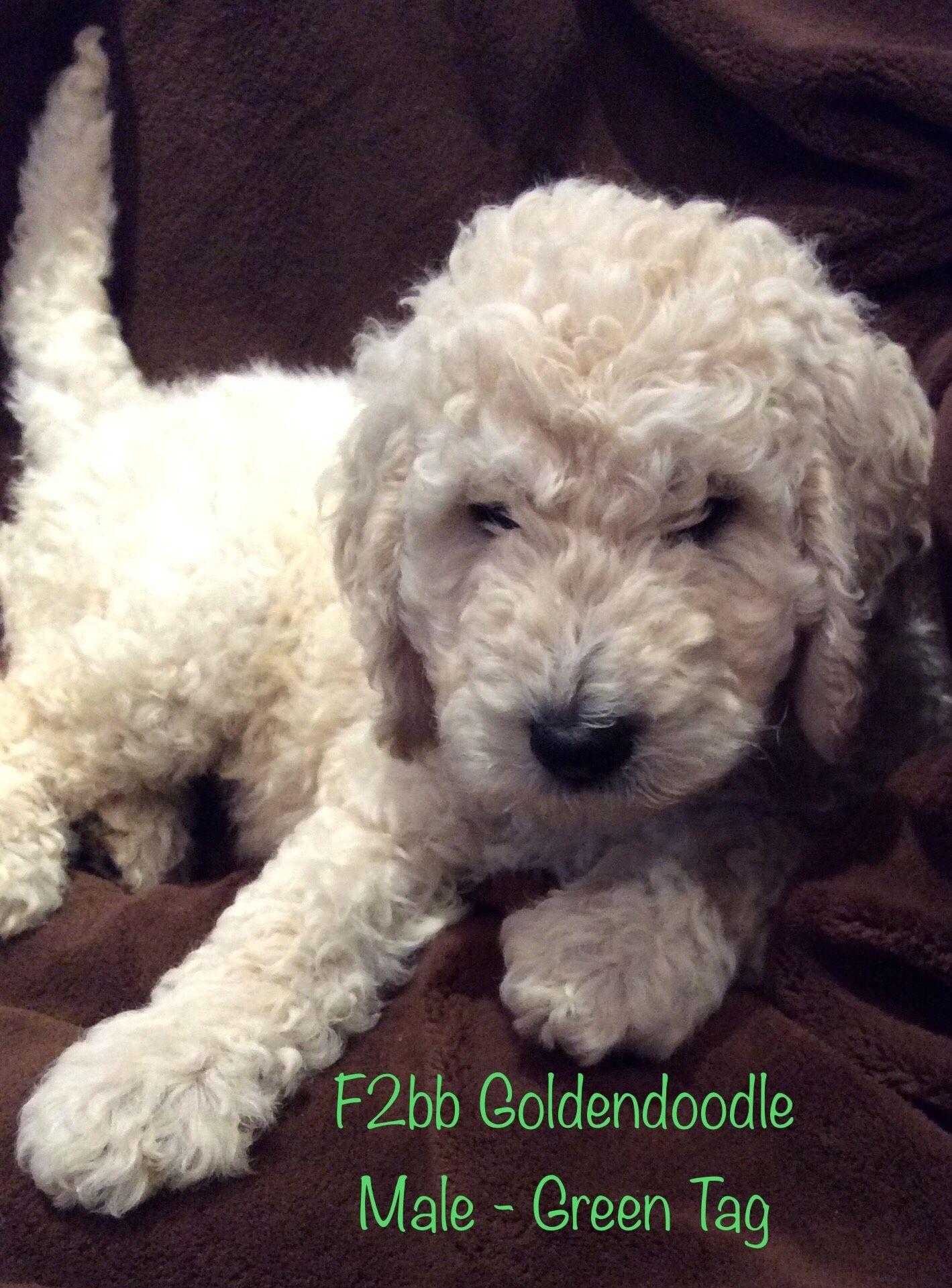 F2bb Goldendoodle Goldendoodle, Goldendoodle puppy, Puppies