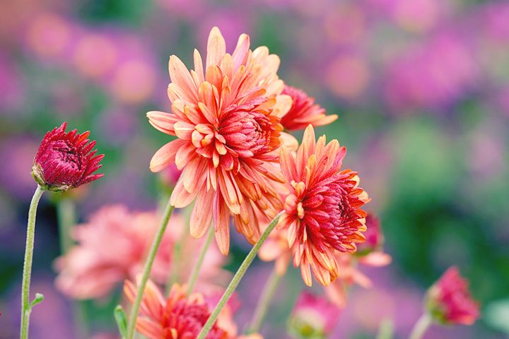 Aster Meaning And Symbolism Ftd Com Aster Flower Aster Flower Tattoos Flower Meanings